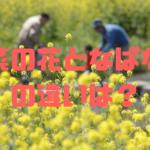 【比較写真あり】菜の花となばなの違いは?/わかりやすく解説。