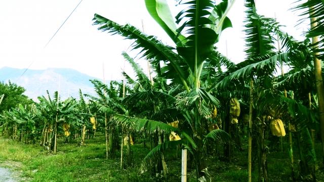 【バナナ】主なメーカーと種類/高原栽培が美味しい理由など。
