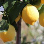 国産レモンの時期はいつ?/皮ごと使う場合、農薬や防腐剤は大丈夫?
