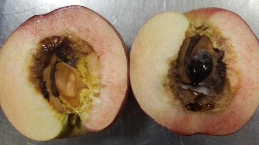桃の中が空洞で茶色く変色しカビが生えてる原因は?/食べても大丈夫?